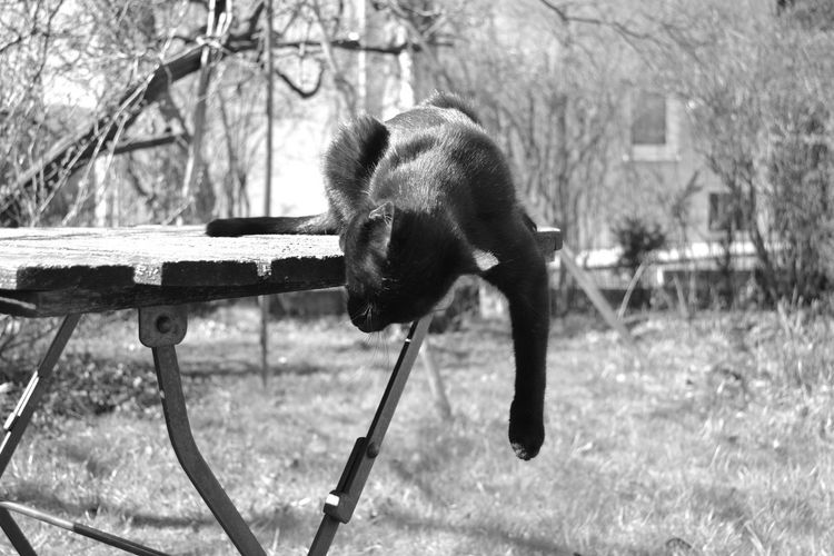 Animal Themes Animals In The Wild Black Black And White Black Cat Black Cat Photography Black Cats Are Beautiful Blackandwhite Blackandwhite Photography Day Hanging Around Lazy Lazy Cat Mammal Nature No People On The Table One Animal Outdoors Springtime Tree