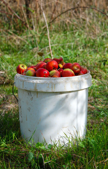 ripe red organic apples from my orchard Apple Autumn Container Close-up Day Field Food Food And Drink Freshness Fruit Harvest Healthy Eating Hrvest Nature Organic Outdoors Pail Red Apple White