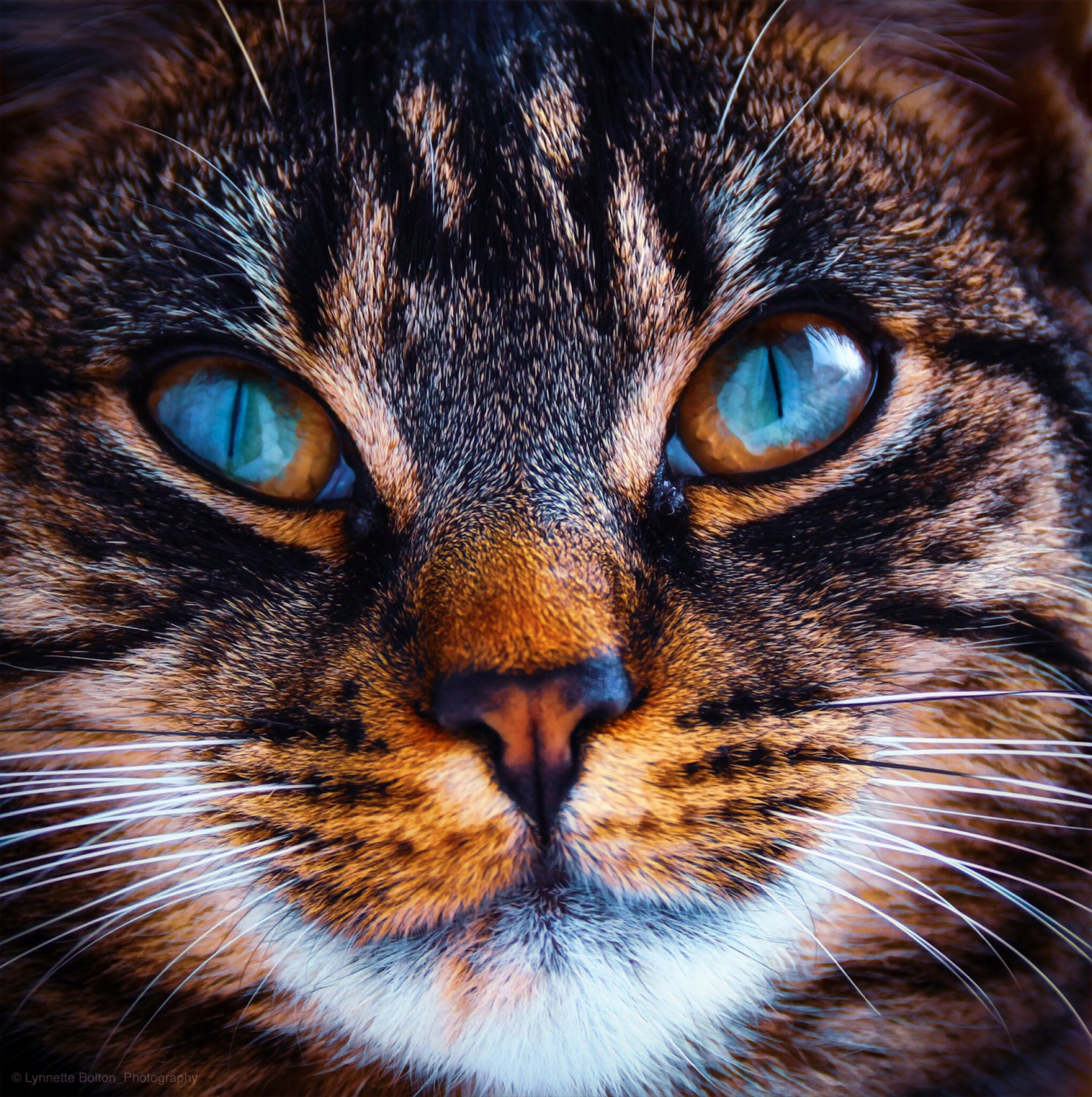 one animal, mammal, animal body part, cat, close-up, portrait, feline, pets, domestic cat, looking at camera, domestic animals, domestic, animal eye, eye, whisker, no people, aggression, snout