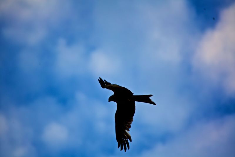 Animal Themes Animals In The Wild Beauty In Nature Bird Bird Of Prey Flying Mid-air One Animal Red Kite Red Kite In Flight Spread Wings