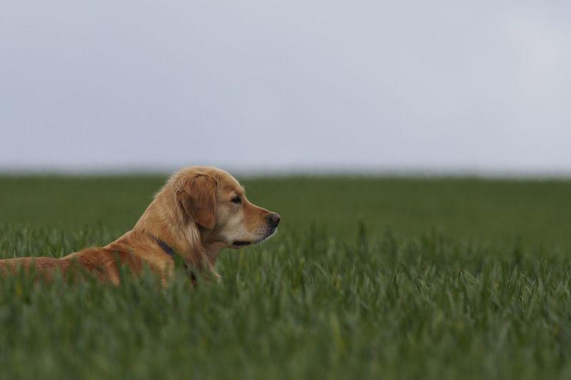 Domestic Animals Field Dog Retriever Golden Retriever Goldenretriever Pets Grass Landscape One Animal Mammal Animal Themes Day Nature Outdoors Field Wildlife & Nature Friend