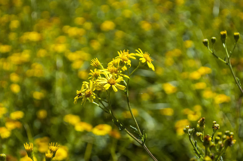 Summer beauty Flowers Yellow Plants Botany Meadow Summer Summertime Petals Portsmouth Hampshire  England Plant Part Leaf Flower Close-up Plant Green Color Landscape