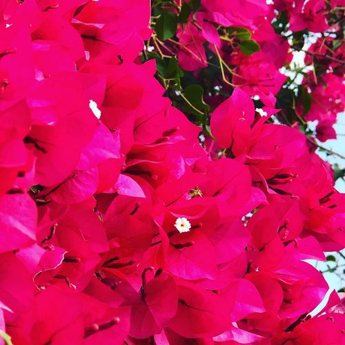 The Beauties of Nature Beautiful Magenta Color Beauty In Nature Floral Photography Floral Wallpaper Magenta Flower Nature No People