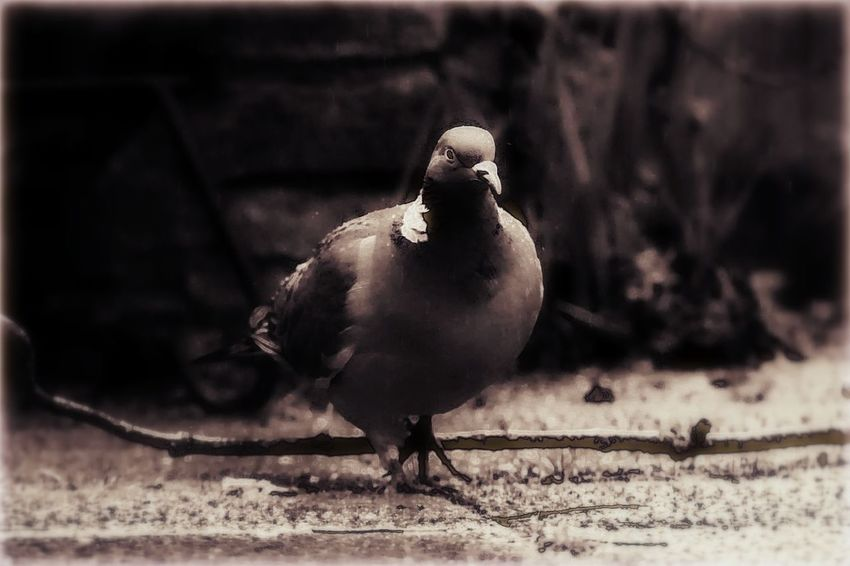 even a common old pidgeon can make a super photo....sometimes ;-) I like the way the light was catching him with the darkness of the background. Ive called him.. Funky Pidgeon :-) Animal Animal Themes Artistic Artistic Photo Beak Bird Bird Photography Birds Of EyeEm  Black Color Blackandwhite Photography Close-up Day Edited Feathered Friends Focus On Foreground Nature Nature On Your Doorstep Nature Photography Outdoors Pidgeon  Pidgeon Steps Pidgeons Taking Photos Wildlife Wildlife & Nature