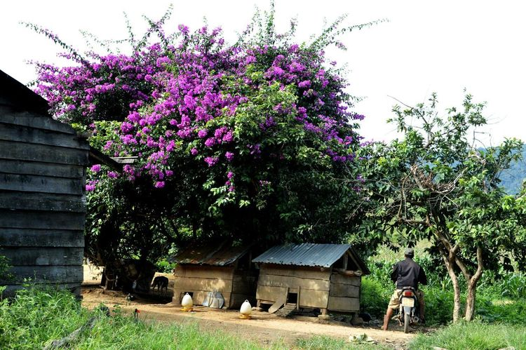 Tree Growth Flower Nature Plant Beauty In Nature Rural Scene Taking Photos Vietnam Its Me Lodvieliz Nature Live For The Story Traveling Peaceful View Springtime