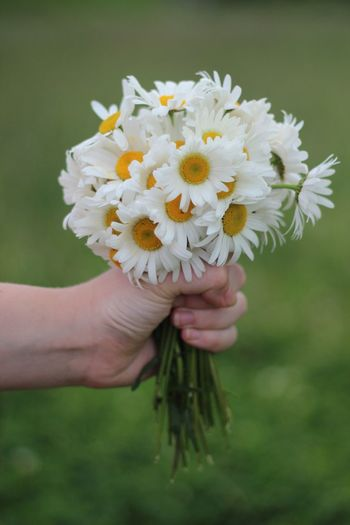 Cropped Hand Of Person Holding Gerbera Daisy Outdoors