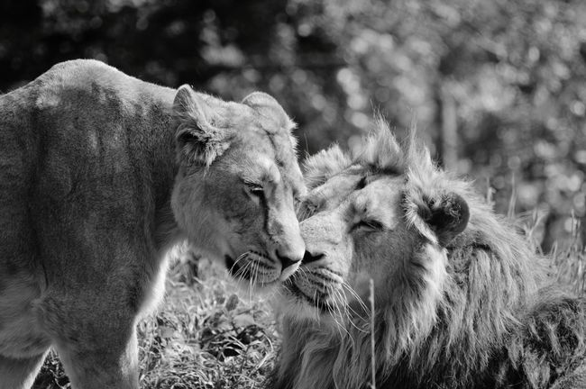 Black And White Black And White Photography Big Cats Love Is In The Air Wild Animal EyeEm Animal Lover Animal Photography Wildlife Photography Lions EyeEm Best Shots - Black + White