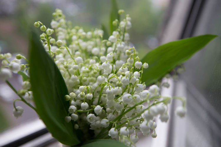 Lilly of the valley )) Beauty In Nature Blossom Flower Freshness Lilly Of The Valley May Nature New Life Tiny White Color ландыши