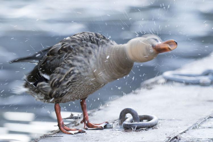 Duck On Shore
