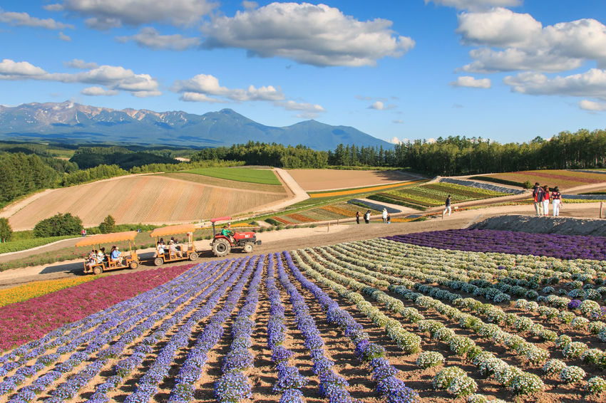 Flower garden in Kamifurano, with mountain view in Furano, Hokkaido Japan Agriculture ASIA Beauty In Nature Biei Blue Farm Field Flowers Furano Growth Hokkaido In A Row Japan Landscape Nature Otaru Pattern Preparation  Rural Scene Scenics Sky Spring Tranquil Scene Tranquility Travel