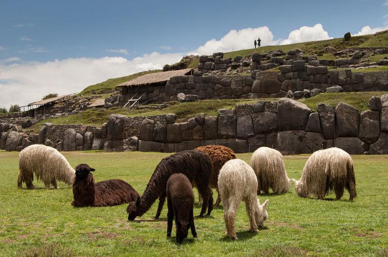 Llamas on grassy field at saksaywaman