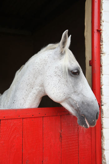 Animal Animal Body Part Animal Head  Animal Themes Close-up Day Equestrian Focus On Foreground Horse Lipizzaner Mammal Nature No People Outdoors Red Stable Stable Door White