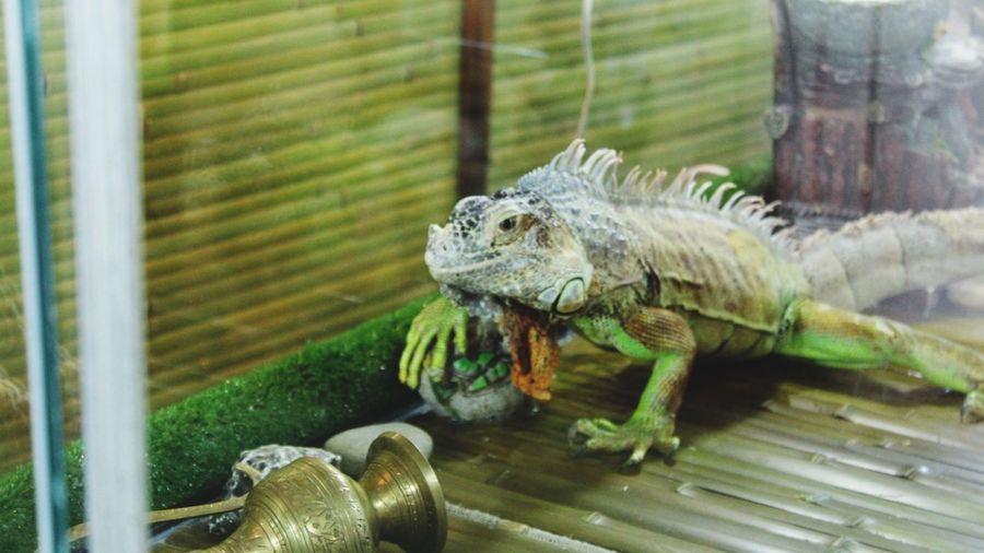 удивительный зоопарк Iguana
