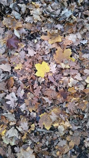 yellow individual Autumn colors Autumn Leaves Individual Autumn Ground Yellow Yellow Leaves Yellow And Brown Backgrounds Full Frame Leaf Textured  Close-up Leaves