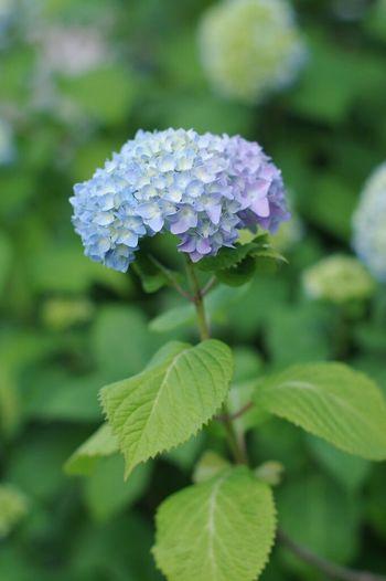 Blue から Purple への グラデーション が綺麗だった あじさい でした。 Gradation Flower Flowers Hydrangea