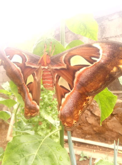 Giant butterfly Cellularphotography Meizuindonesia Meizuphoto Meizum3s Indonesiabanget Trawas Giantanimal Buttetfly Leaf Plant Green Color