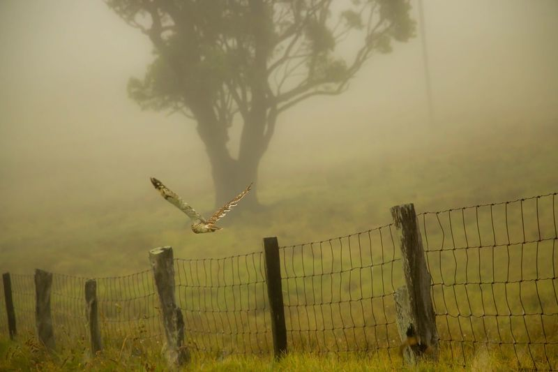 In flight Short Eared Owl Fence Tree Protection Safety Nature No People Tranquility Sky Fog Tranquil Scene Outdoors Growth Beauty In Nature Day owl