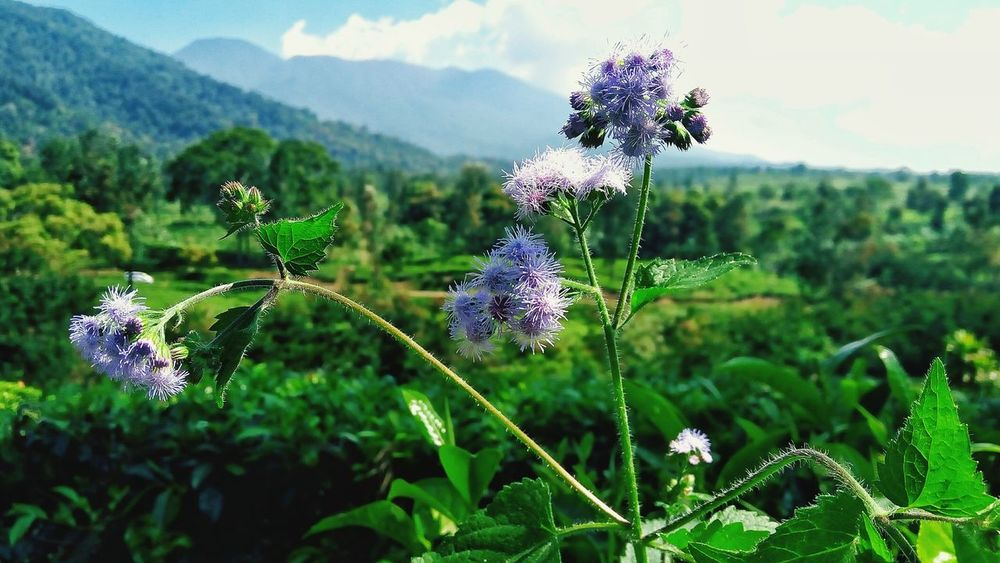 Flower Nature Growth Plant Beauty In Nature Wildflower Fragility Focus On Foreground Purple Uncultivated Field Outdoors No People Green Color Day Flower Head Freshness Cloud - Sky Close-up Rural Scene