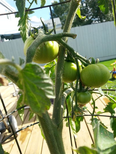 Tomatoes From My Garden , Nature Tomatoes Up Close Green Growing Spruce Grove, Alberta My Back Yard Samsung Galaxy S3