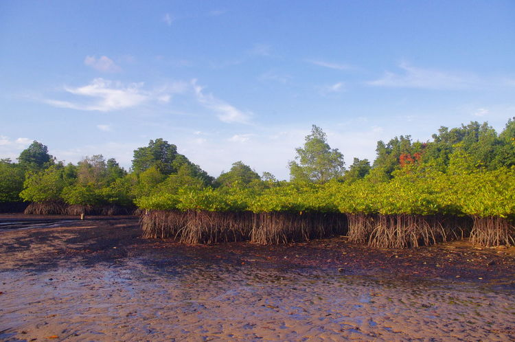 Mangrove Forest Beauty In Nature Day Field Growth Landscape Mangrove Life Mangroveplant Nature Outdoors Sky Tree