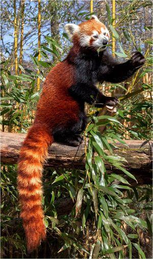 Animals EyeEm Animal Lover Red Panda Zoo