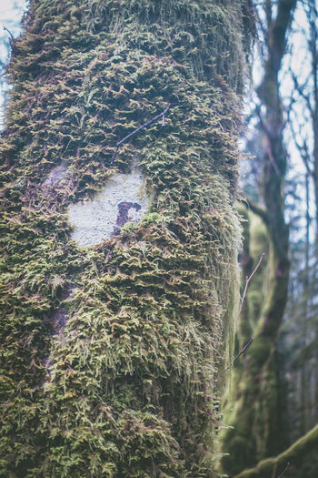 Hike around Seattle, Tiger West Trail #3, Forest, 2017, USA, Julie Gatto Cloudy Cold Enjoying Life Foggy Forest Forest Photography Green Growth Hike Julie Gatto Landscape Misty Moss Nature No People Outdoors Pine Trees Trail Tree Winter