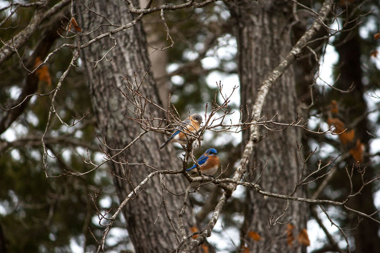 2 Birds Female Bluebird Animal Themes Animal Wildlife Animals In The Wild Bare Tree Beauty In Nature Bird Bluebird Couple Bluebirds Branch Close-up Day Focus On Foreground Male Bluebird Nature No People One Animal Outdoors Perching Tree