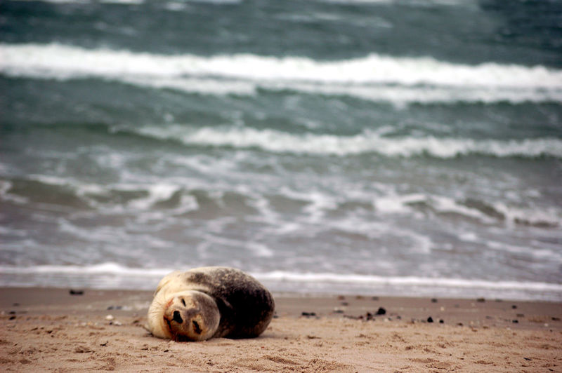 Denmark Animal Animal Themes Animal Wildlife Animals In The Wild Beach Day Focus On Foreground Land Mammal Marine Motion Nature No People One Animal Relaxation Sand Sea Seal Seal - Animal Skagen Sleeping Vertebrate Water Wave