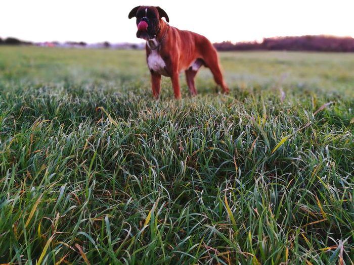 Dog Pets Grass One Animal Nature Outdoor Photography Animal Themes No People Boxer Dog Dog In Grass Boxer Love Sunset Savudrija Istra Croatia