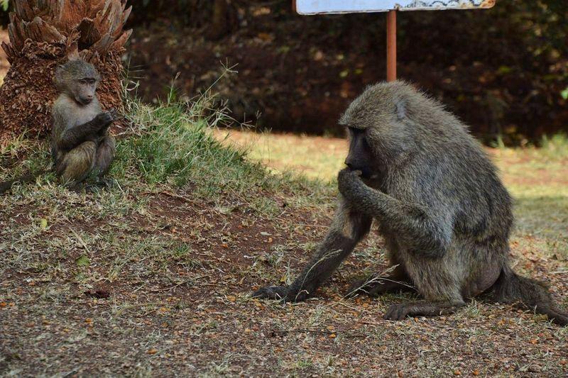 EyeEm Selects Baboon Baboons Mum Little Animal Animal Wildlife Animals In The Wild Monkey Nature Nairobi Kenya Africalove Perspectives On Nature EyeEmNewHere
