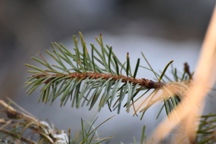Close Up Tree Branch  Pine Tree Branch Blurry Background No People Nature Nature_collection Nature Photography Green Green Leaves Nature Collection Plants