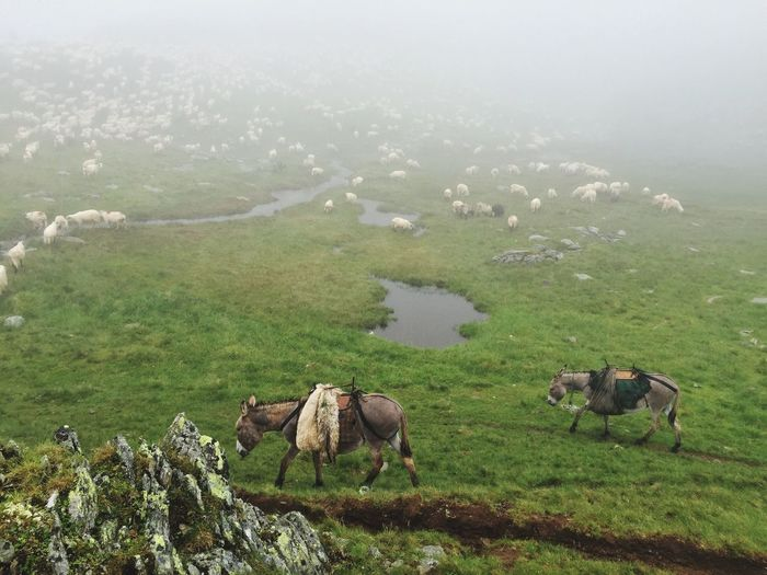 Donkeys in fog IPhone Trekking Romania Animals Landscape Fog Mountains Donkeys Sheeps Outdoors Beauty In Nature Colour Of Life Hicking Mountain Foggy Foggy Morning Domestic Animals Adventure What's On The Roll