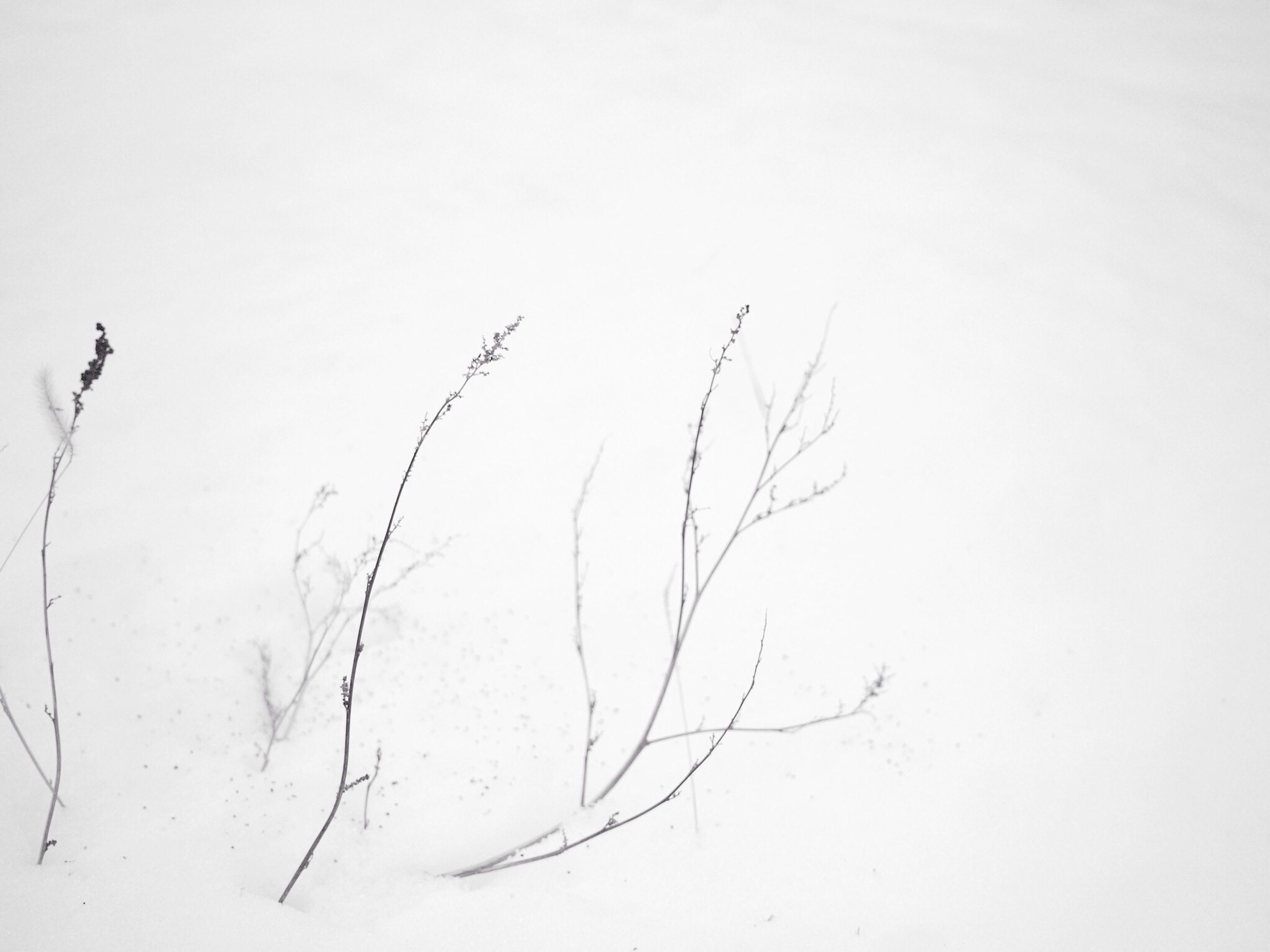 copy space, white background, clear sky, nature, cold temperature, tranquility, winter, bare tree, studio shot, branch, dead plant, low angle view, no people, snow, dry, beauty in nature, day, weather, outdoors, close-up