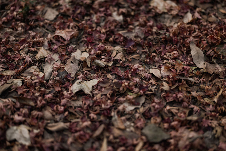 Close-up of dry maple leaves on ground