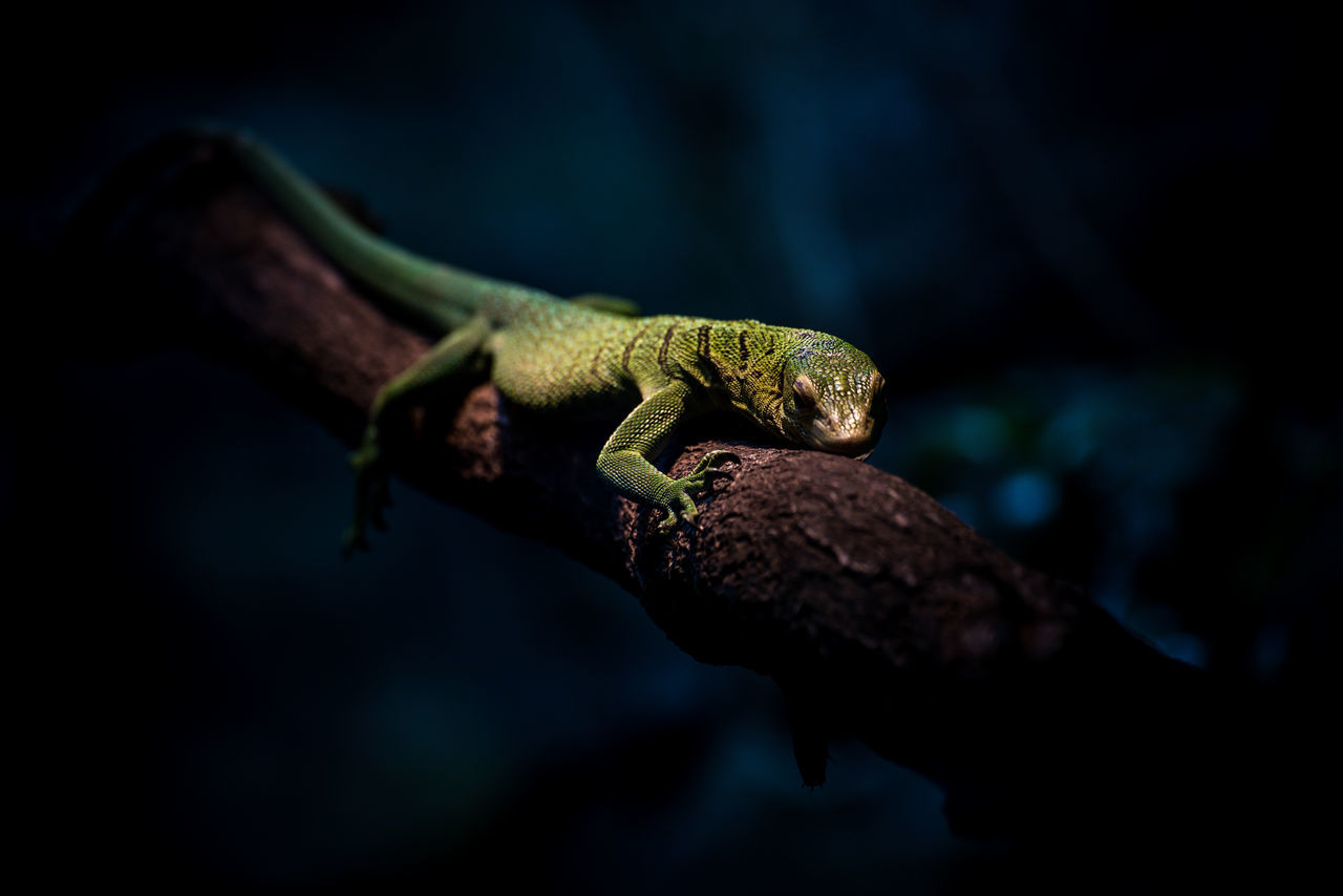 Close-up of lizard on tree at night