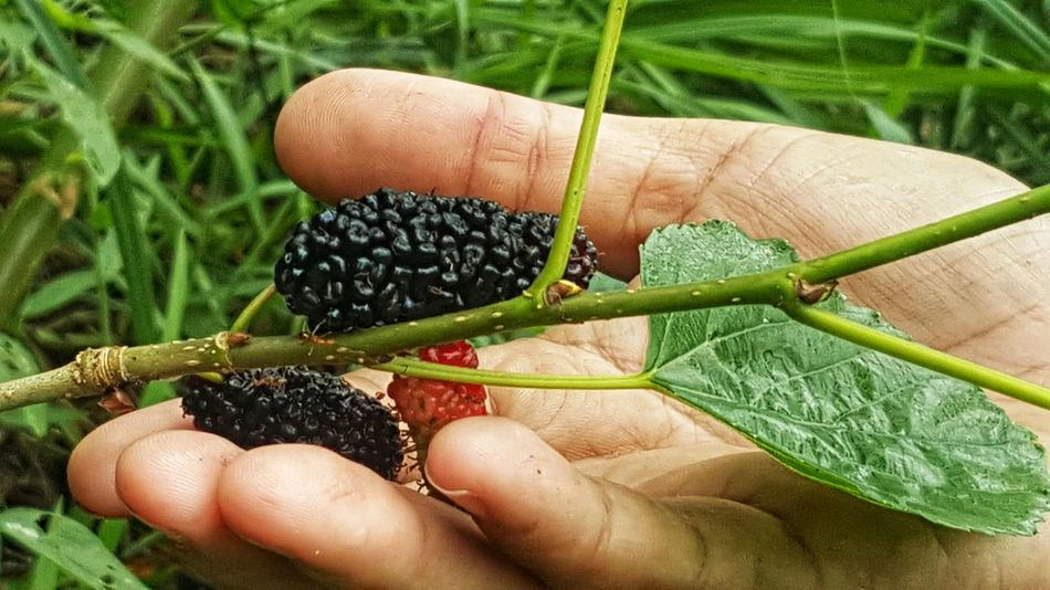 Ripe mulberry fruits on a palm. Mulberry Fruits Lifestyles Close-up Green Color Outdoors Nature Freshness Growth Plant Human Hand Human Body Part One Person Food And Drink Healthy Eating