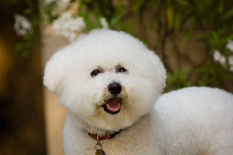 Bichon dog portrait Bichon Frise Dog Toy Dog Group Animal Themes Bichon Bichon Frise Close-up Day Dog Domestic Animals Looking At Camera Mammal No People Non-sporting One Animal Outdoors Pets Portrait White Color