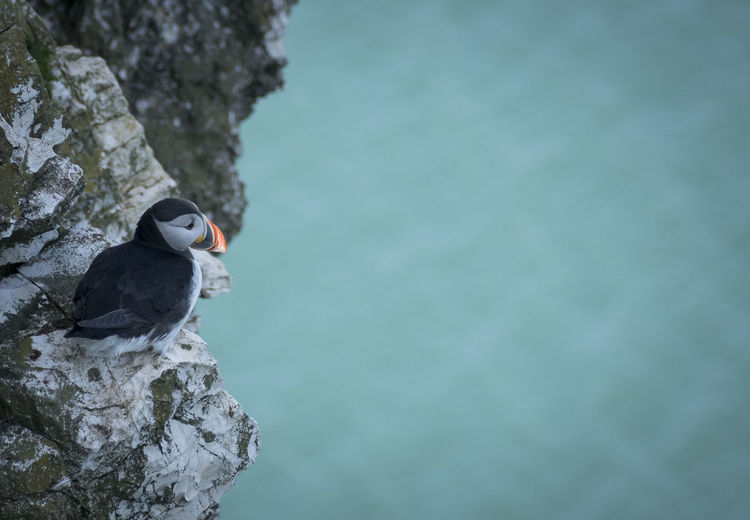 Bempton Cliffs Puffin Animal Animal Themes Animal Wildlife Animals In The Wild Beauty In Nature Bird Cliffside Close-up Copy Space Day Focus On Foreground Nature No People One Animal Outdoors Perching Rock Rock - Object Solid Vertebrate Water