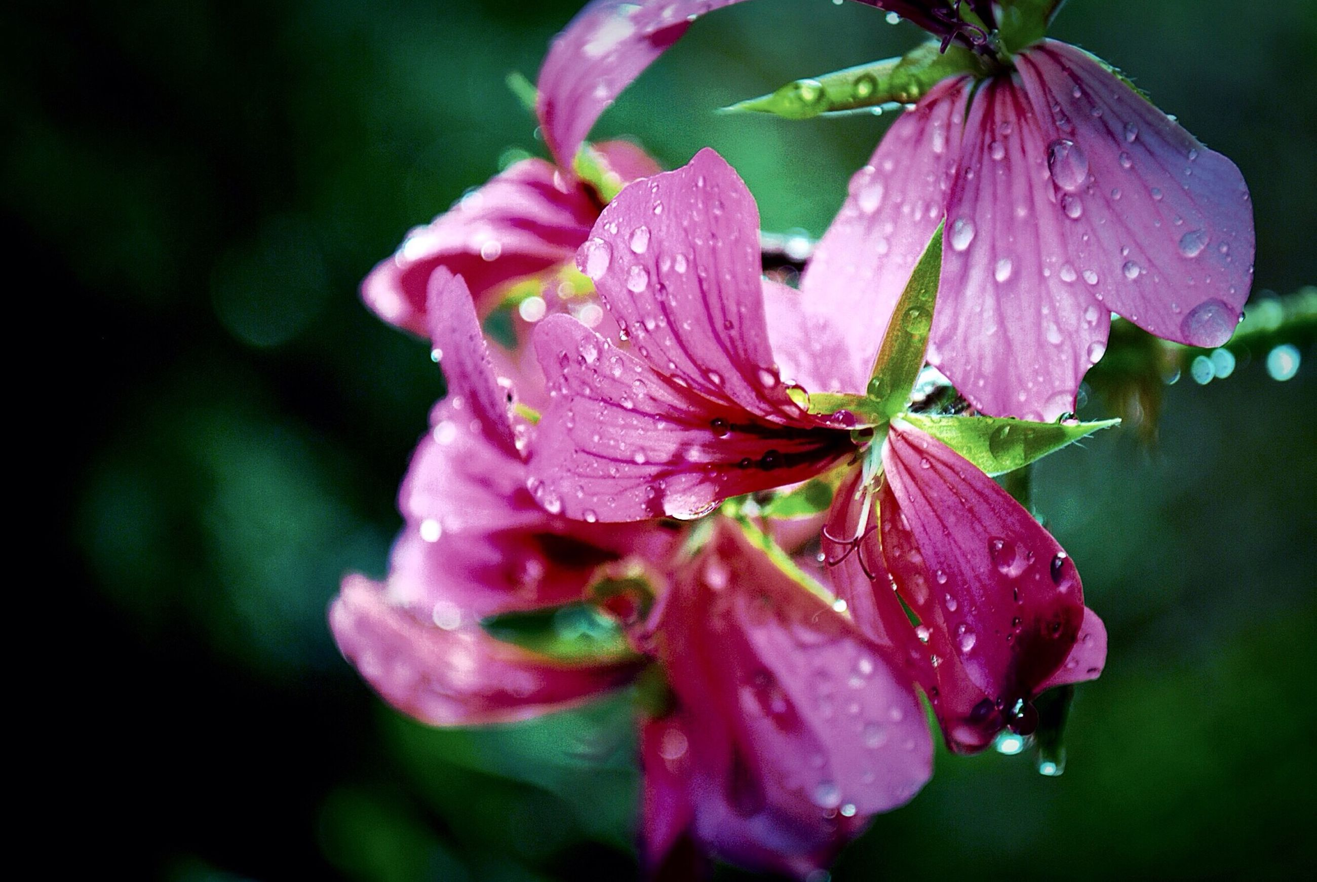 flower, petal, freshness, drop, fragility, water, wet, flower head, close-up, growth, beauty in nature, focus on foreground, dew, nature, raindrop, blooming, pink color, rain, single flower, plant