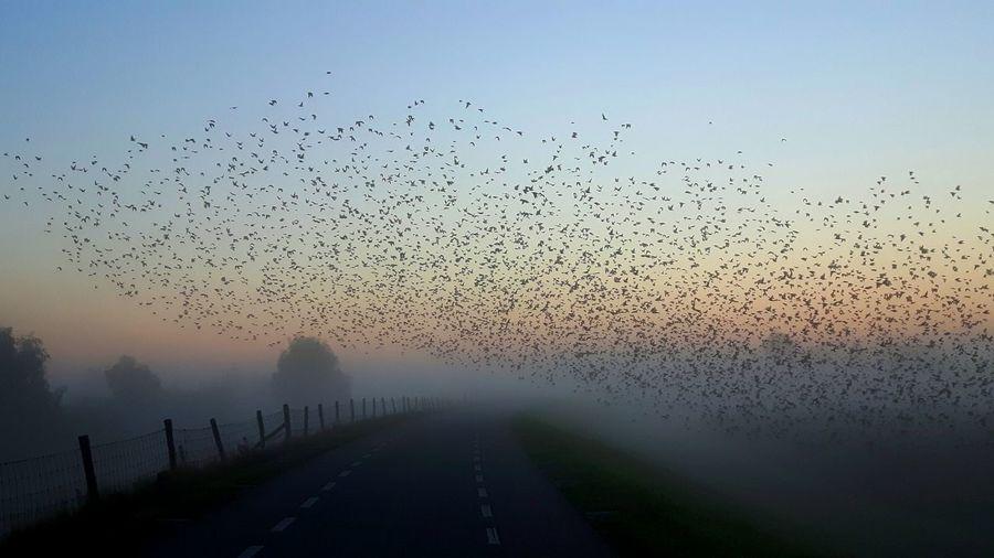 Starlings At Dawn Beauty In Nature Mist Scenics Nature Foggy Murmurations Murmurations Skydancers Dramatic Angles