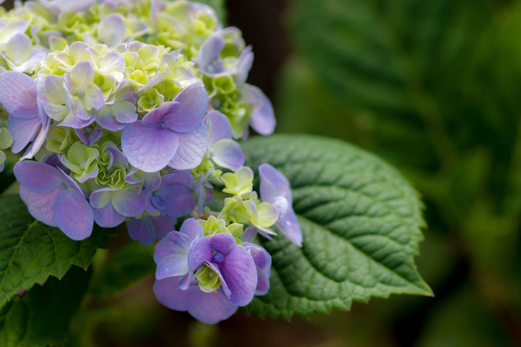 Plant Flower Flowering Plant Beauty In Nature Growth Vulnerability  Fragility Freshness Close-up Petal Plant Part Leaf Purple Nature Inflorescence Flower Head Focus On Foreground Day No People Hydrangea Outdoors Lilac Bunch Of Flowers