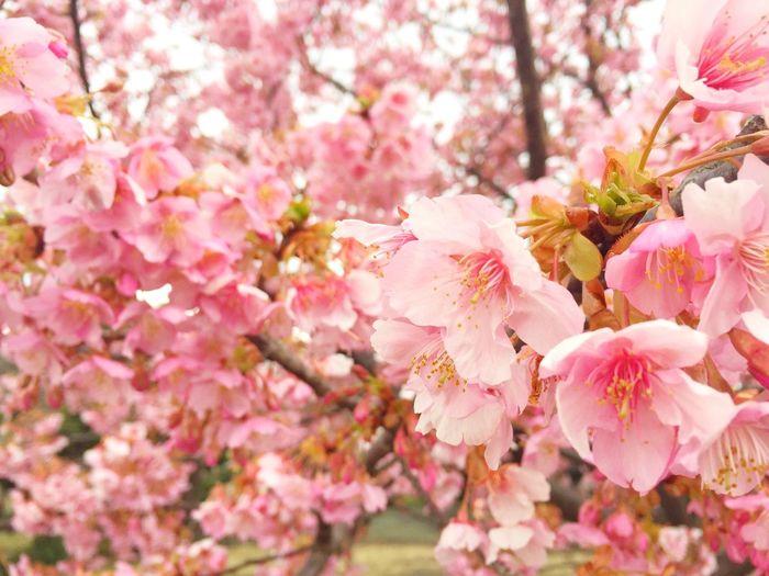 Sakura Sakura2015 Cherry Blossoms Cherry Kawazu-zakura Spring Spring Flowers