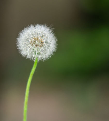 Dandelion EyeEm Beauty In Nature Close-up Dandelion Dandelion Seed Flower Flowering Plant Focus On Foreground Fragility Freshness Growth Nature No People Outdoors Plant Plant Stem Softness Vulnerability  White Color