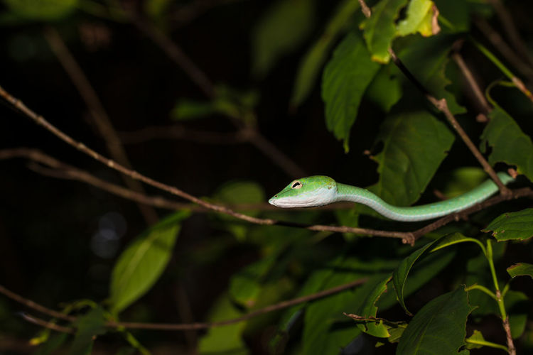 Snake in thailand Snake Travel Wildlife & Nature Wildlife Photography Animal Themes Animal Wildlife Animals In The Wild Beauty In Nature Close-up Day Green Color Leaf Nature No People One Animal Outdoors Photography Plant Reptile Snakes Are Beautiful Tree Treesnake Wildlife