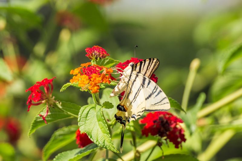 Close-up of butterfly on lantana camara during sunny day