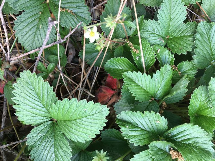 Wild Strawberry Wild Strawberries