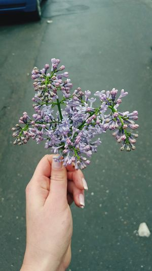 Cropped hand holding purple lilac buds on street