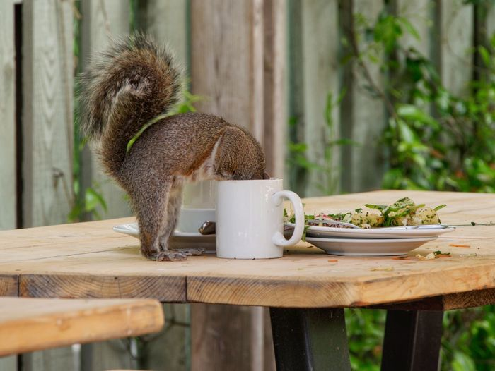 Close-up of an squirrel with head in coffee cup on table. amusing.