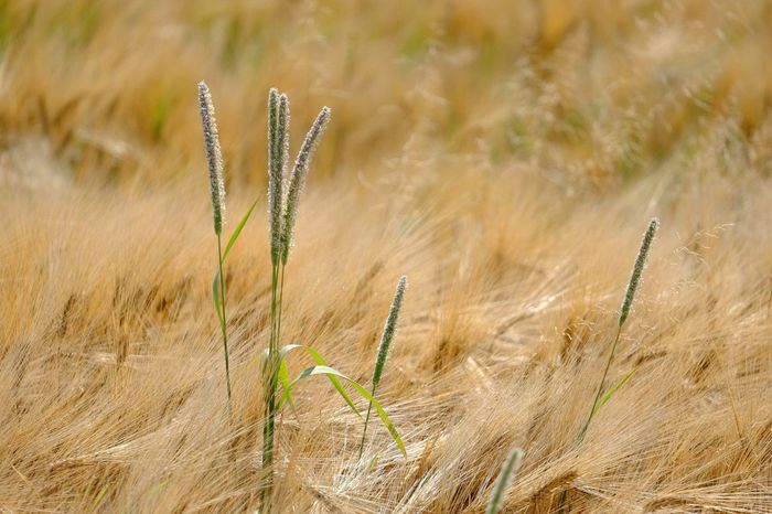 Plant Growth Field Agriculture Close-up Focus On Foreground Land Crop  Farm Rural Scene Cereal Plant Wheat Brown