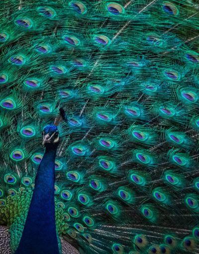 Zoo Animals  EyeEm Animal Lover Philadelphia Philadelphia Zoo Showcase May The Week On Eyem EyeEm Best Shots Birds_collection Birds Of EyeEm  Zoo Picoftheday Birds Bird Bird Photography Peacock The Great Outdoors - 2016 EyeEm Awards
